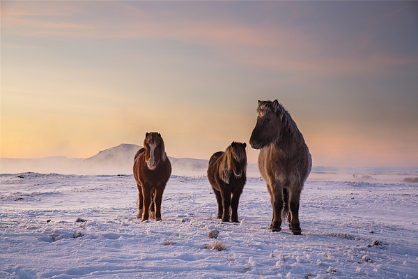 Icelandic horses in the snow. Photograph by Alex Saberi