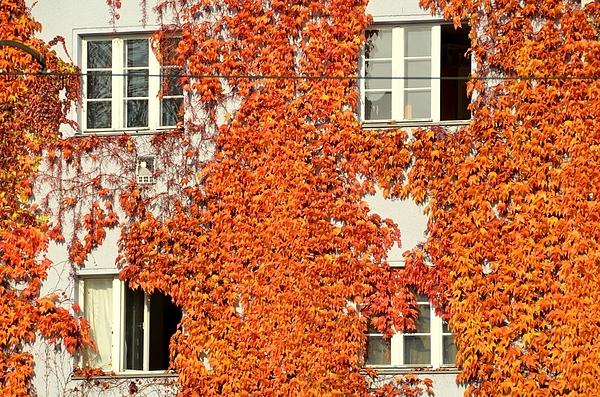 Ivy Covering House Photograph by Joerg Fockenberg / EyeEm