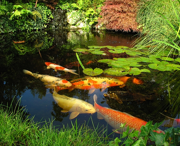 Japanese Garden - Big Kois In The Pond Photograph by Fotolinchen