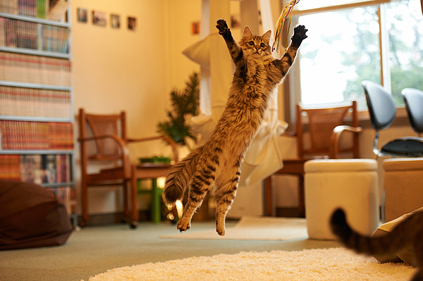 Jumping cat at Cat Cafe Photograph by Akimasa Harada
