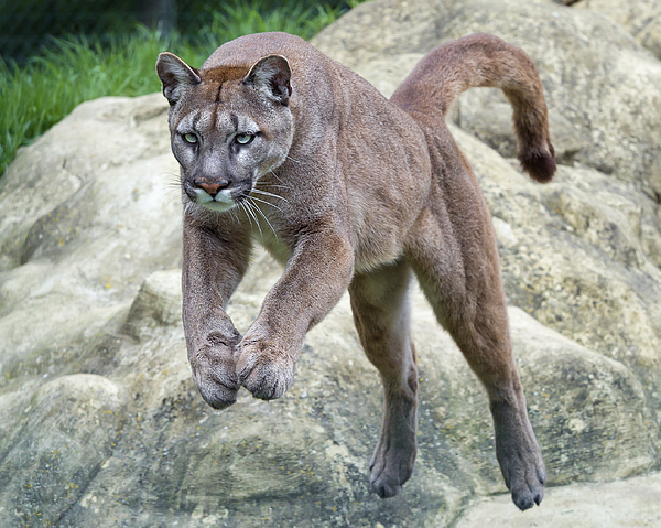 Jumping Puma Photograph by Picture by Tambako the Jaguar