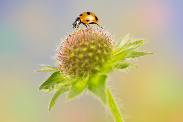 Ladybird on wildflower Photograph by Mikroman6