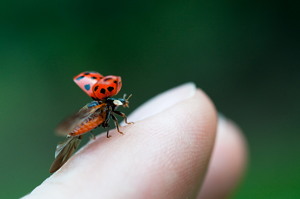 Ladybug Just Before Flying Away From Fingertip Photograph by Assalve