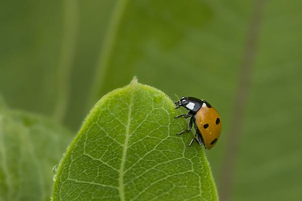 Ladybug on the Edge Photograph by Gail Shotlander
