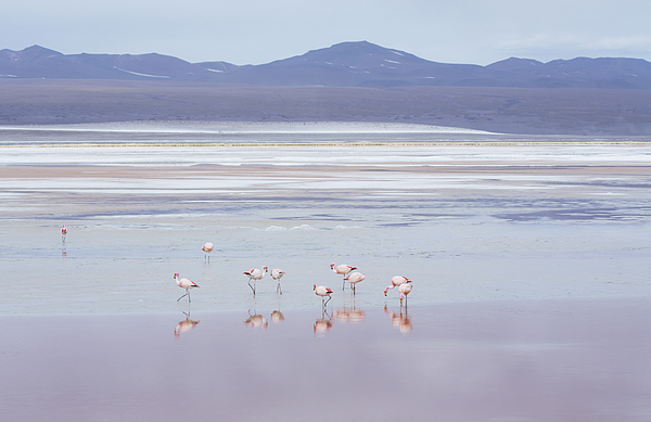 Laguna Colorada with flamingoes and mountain backdrop, Potosi, Bolivia, South America Photograph by Alex Saberi/robertharding