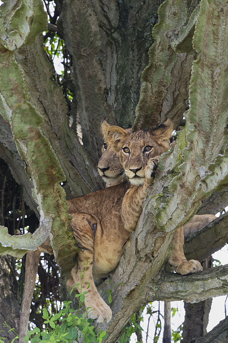 Lion Cub On A Cactus Tree Photograph by Keren Su