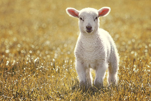 Little spring lamb Photograph by Liesel Conrad