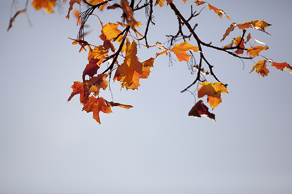 Low Angle View Of Autumnal Tree Against Clear Sky Photograph by Paulien Tabak / EyeEm