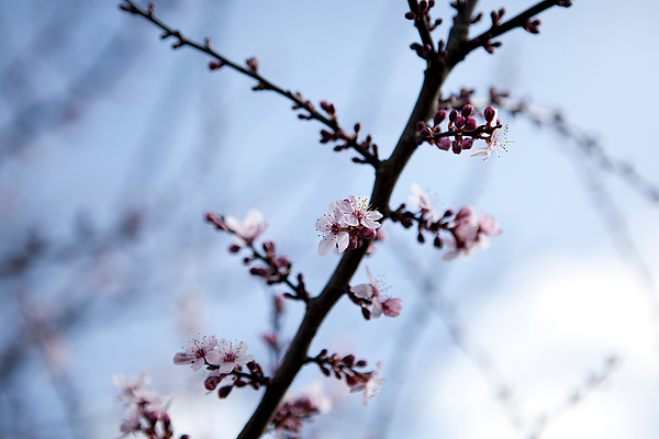 Low Angle View Of Cherry Blossom Growing On Tree Photograph by Paulien Tabak / EyeEm