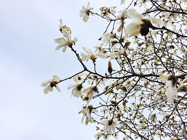 Low Angle View Of Flowers Blooming On Tree Photograph by Paulien Tabak / EyeEm
