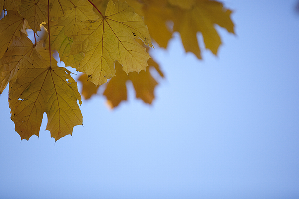 Low Angle View Of Leaves Against Clear Blue Sky Photograph by Paulien Tabak / EyeEm