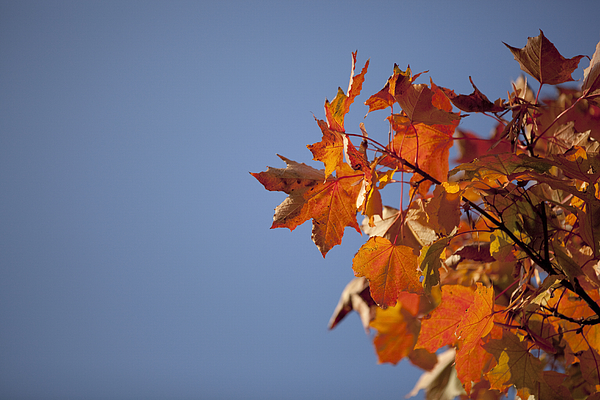 Low Angle View Of Maple Tree Against Clear Sky Photograph by Paulien Tabak / EyeEm