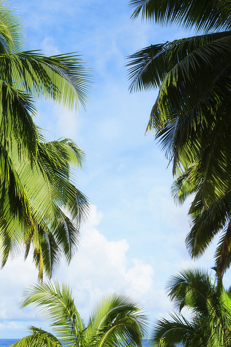 Low angle view of palm trees under blue sky Photograph by Jacobs Stock Photography Ltd