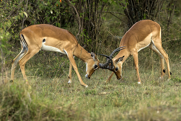 Male impalas play fighting. Photograph by Manoj Shah
