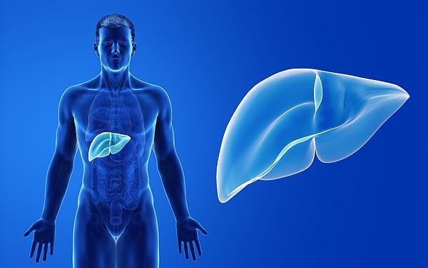 Male liver, illustration Drawing by Sebastian Kaulitzki/science Photo Library