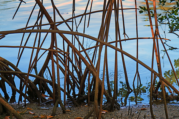Mangrove roots Photograph by Wagner Campelo