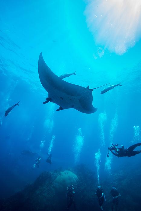 Manta Ray swimming in blue water Photograph by Kampee Patisena