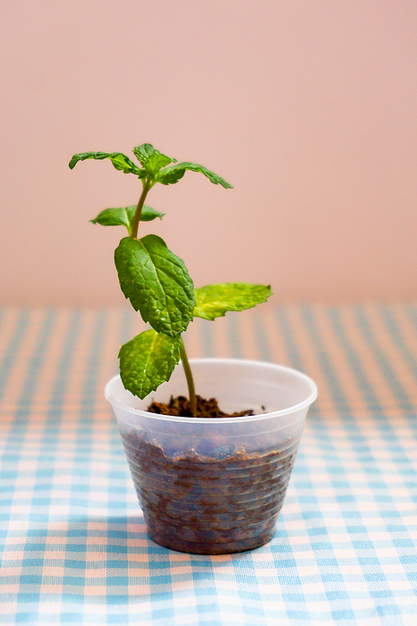 Mint seedlings in small disposable coffee cups. Photograph by CRMacedonio