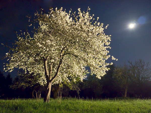 Moonlit Blooming Tree Photograph by Bernd Schunack