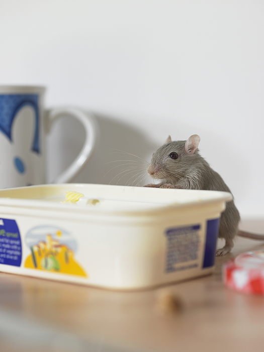 Mouse on table peering into margarine container Photograph by Michael Blann