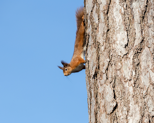 Native red squirrel Photograph by s0ulsurfing - Jason Swain