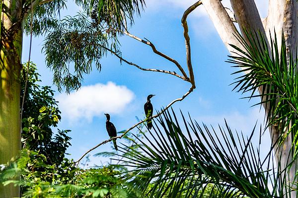 Neotropic cormorant Photograph by CRMacedonio