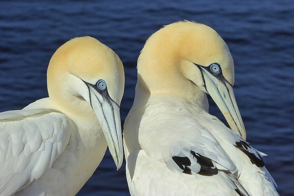 Northern gannets on Helgoland, Germany Photograph by Frans Sellies