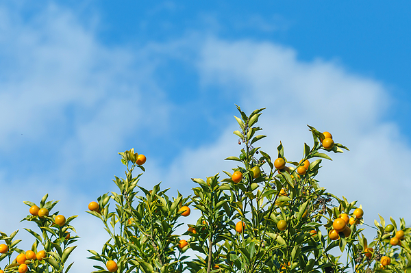 Oranges hanging tree with cloud and blue sky. Photograph by Bixpicture