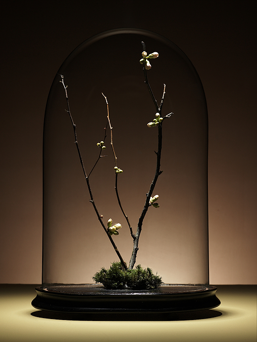 Ornamental Cherry Tree Branches With Buds Under Glass Dome Photograph by Ryan McVay