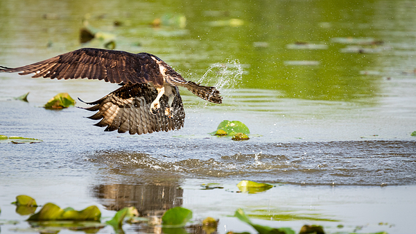 Osprey Diving For Fish Photograph by Ricky Kresslein