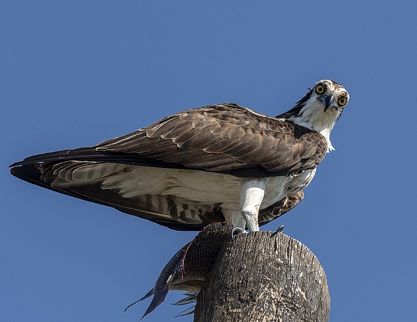 Osprey With Fish On Top Of Telephone Pole Photograph by Elizabeth W. Kearley