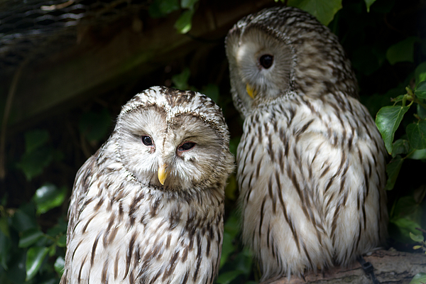 Pair of barred owls Photograph by s0ulsurfing - Jason Swain
