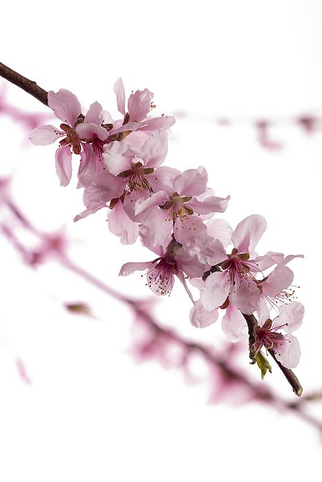 Peach Blossoms Photograph by Ian Gwinn