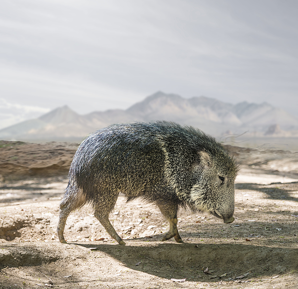 Peccary in Naturalistic Setting Photograph by Ed Freeman