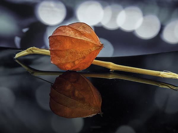 Physalis - Chinese Lantern Photograph by Bernd Schunack