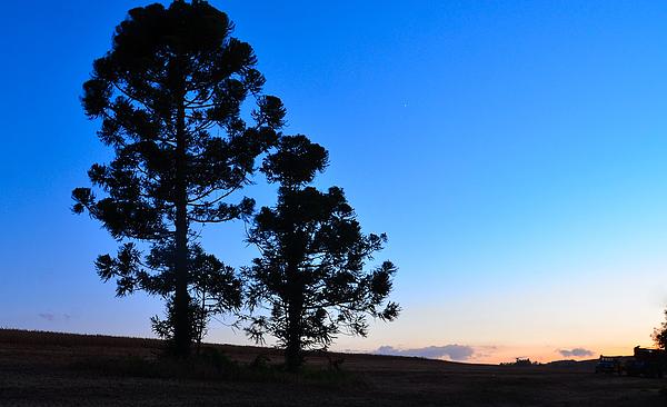 Pine Tree Brazil Photograph by Flavio ConceiÇÃo Fotos