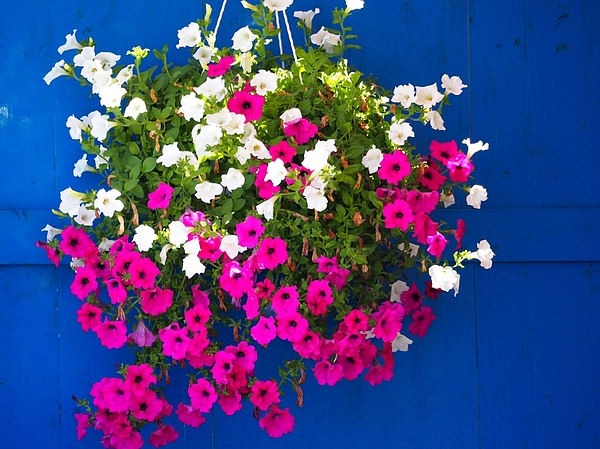 Pink And White Flowers Hanging Against Blue Door Photograph by Alexander Rieber / EyeEm