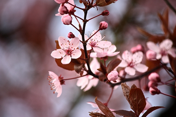 Pink Cherry Blossoms In Spring Photograph by Annette Matthews / FOAP
