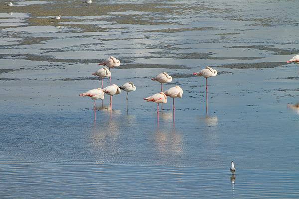 pink flamingos in the natural park of the Po Delta Photograph by Apostoli Rossella