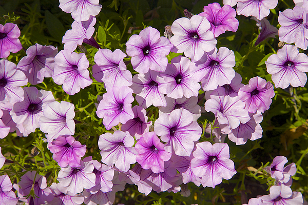 Pink Petunias With Purple Centers Photograph by Barry Winiker