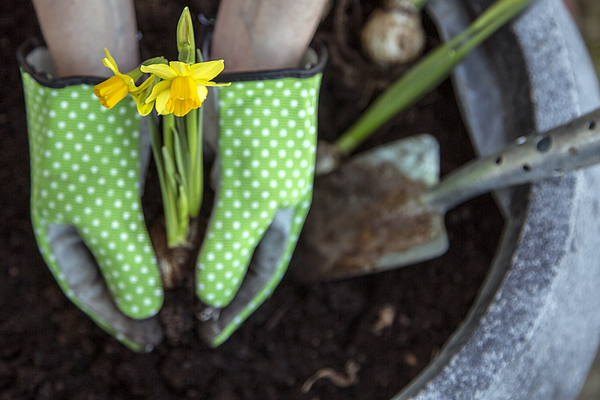 Planting daffodils Photograph by Johner Images