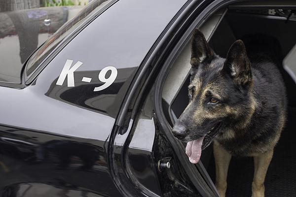 Police K-9 in Patrol Car Photograph by 805promo