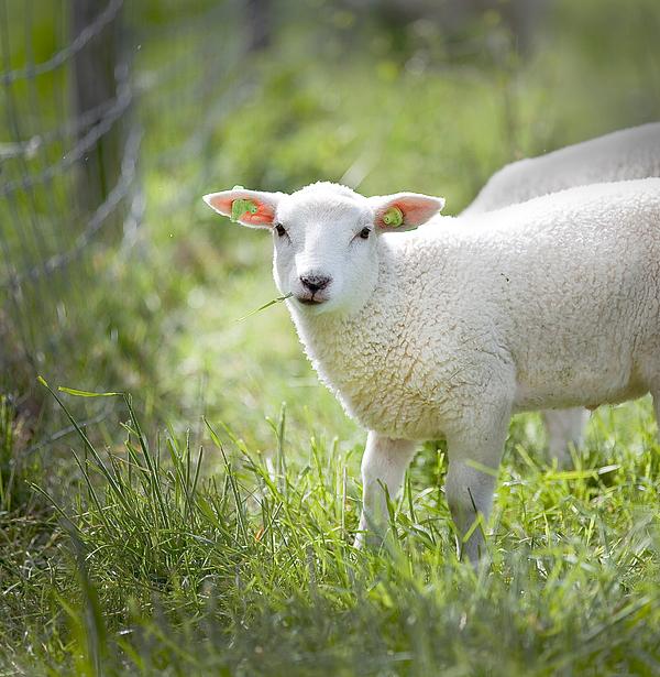 Portrait Of A Sheep Photograph by Paulien Tabak / EyeEm