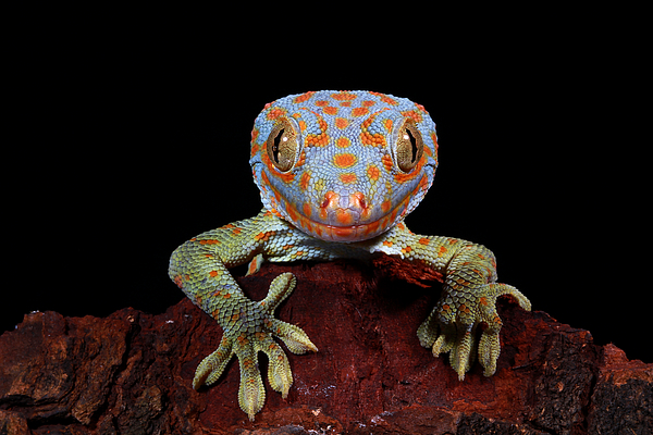 Portrait of a Tokay gecko, West Java, Indonesia Photograph by Kuritafsheen