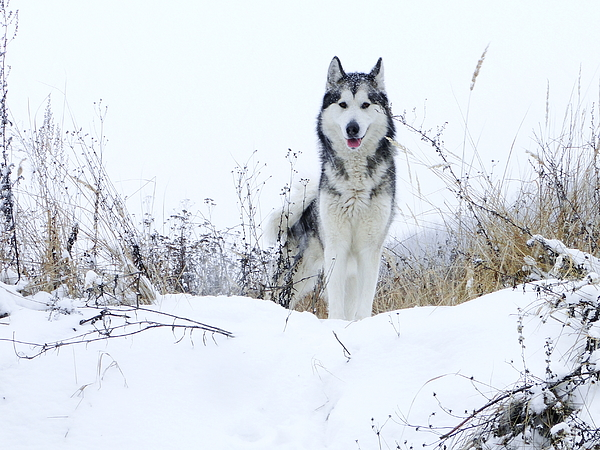 Portrait Of Alaskan Malamute Standing On Snowy Field Against Clear Sky Photograph by Zoltan Gerzsenyi / EyeEm