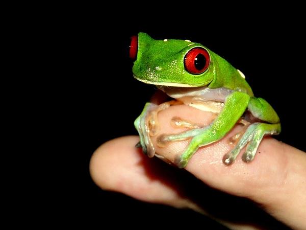 Portrait Of Red Eyed Tree Frog On Black Background Photograph by Joerg Fockenberg / EyeEm