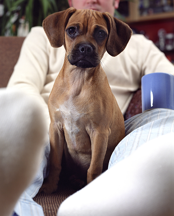 Puppy sitting on ottoman with owner (focus on puppy) Photograph by Brick House Pictures