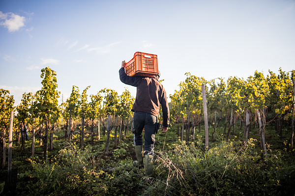 Rear view of young man carrying grape crate on shoulder in vineyard Photograph by Heshphoto