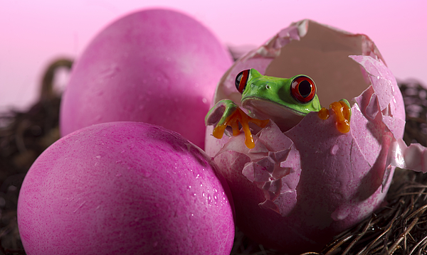 Red-Eyed Treefrog in Pink Eggshell Photograph by Ian Gwinn