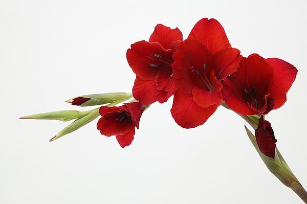 Red flower Photograph by Takao Shioguchi